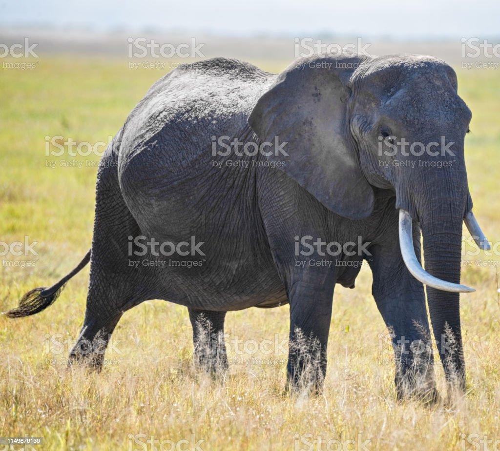 Elephant with broken tusk stock photo