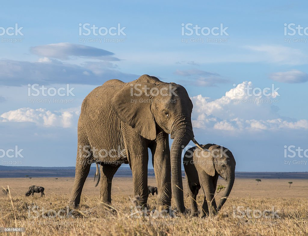 Elephant with calf in thw wild of Africa royalty-free stock photo