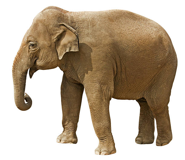 Elephant with clipping path isolated on white background stock photo