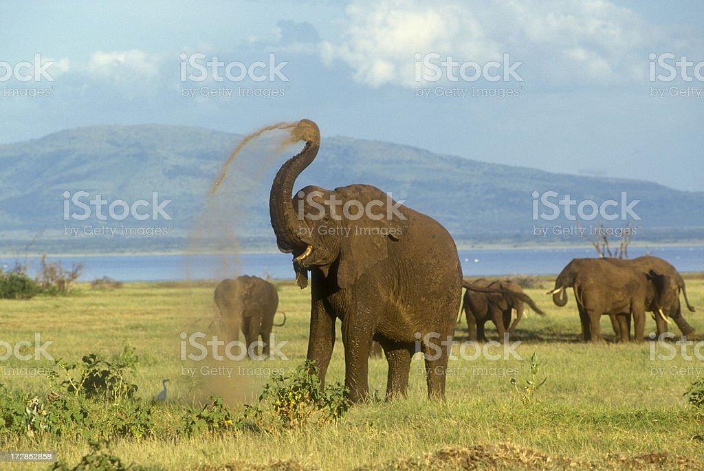 Elephant with raised trunk stock photo