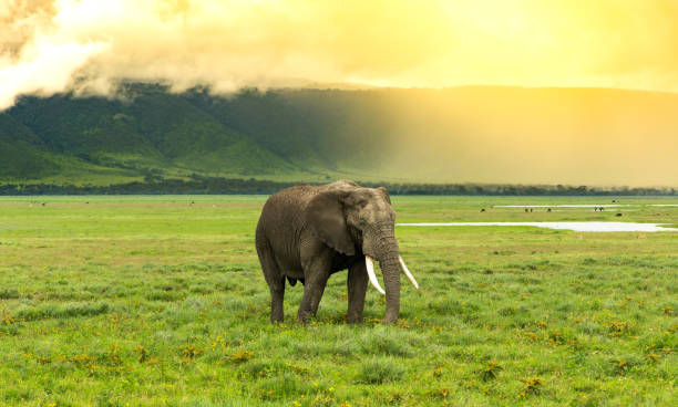 Elephant with the sun in the background Elephant passing with the high slope of the ngorongoro crater in the back and the sun illuminating the scene ngorongoro conservation area stock pictures, royalty-free photos & images
