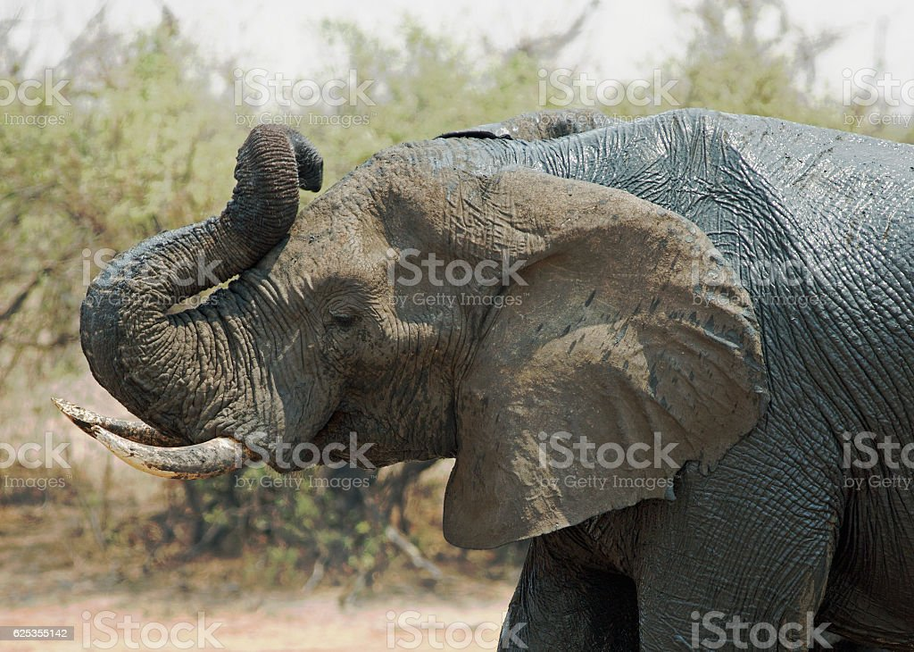 Elephant Silhouette Trunk Curled