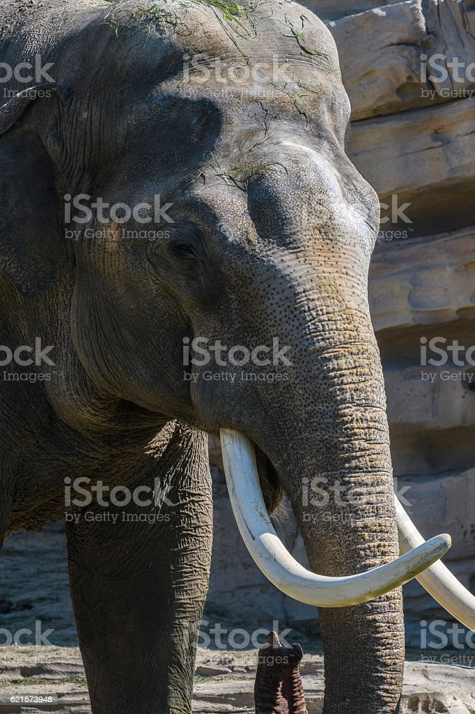 Elephant with tusks and long trunk photo libre de droits