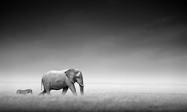 Elephant with zebra (Artistic processing) stock photo