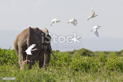 182061384 istock photo Elephants and egrets 162242067