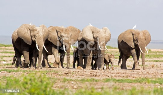 182061384 istock photo Elephants and egrets 174863601