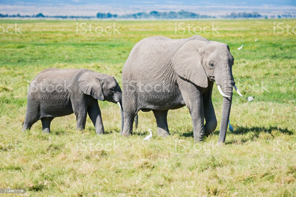 Elephants and egretta birds stock photo