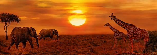 elephants and giraffes at african savanna - safari tiere stock-fotos und bilder