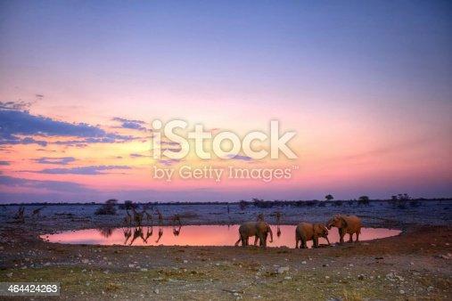 Elephant and giraffes at the okaukuejo waterhole in Etosha National Park during sunset.