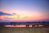 Elephant and giraffes at the okaukuejo waterhole in Etosha National Park during sunset.