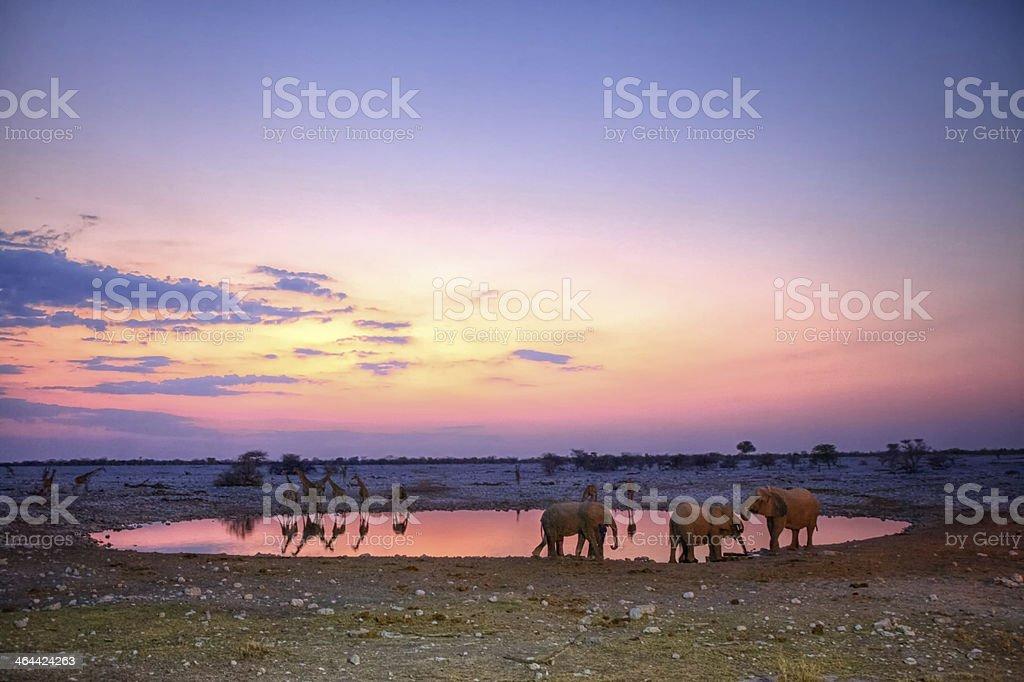 Elephants and giraffes at sunset, Namibia stock photo
