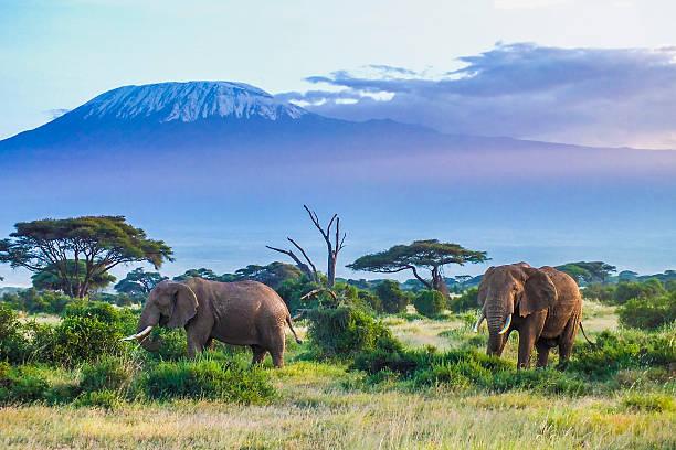elefanti e kilimanjaro - fauna selvatica foto e immagini stock