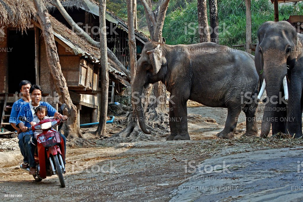 Elephants and mahouts on scooter in village Thailand stock photo