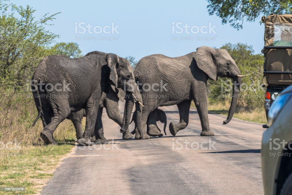 Elephants and safari cars on street in Kruger Park