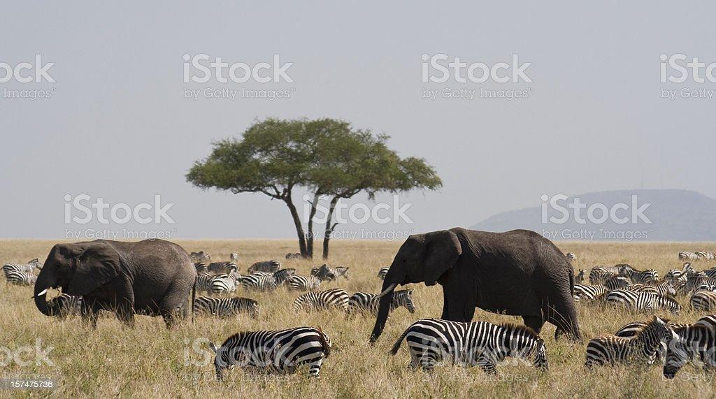 Elephants and zebra in the Serengeti stock photo