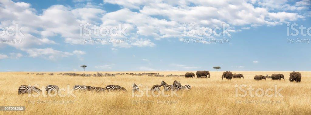 Elefanten und Zebras panorama – Foto