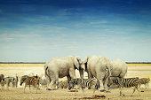 Elephants and zebras in the dry season in Etosha National Park ,Namibia.