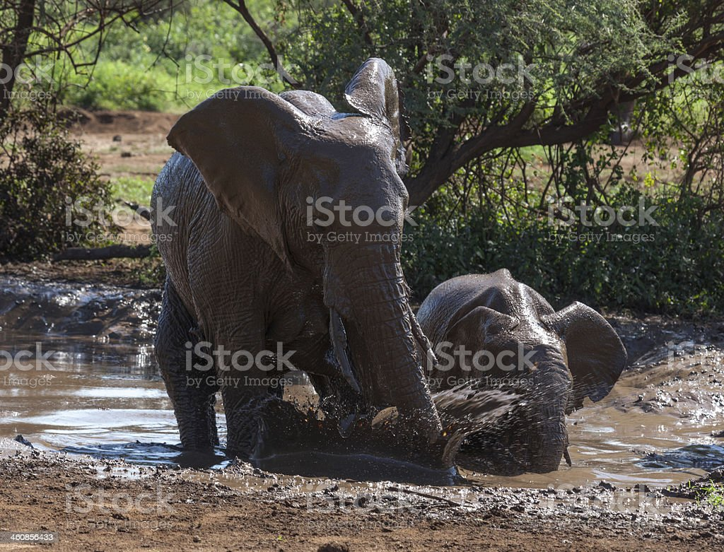 Elephants are playing in the mud royalty-free stock photo