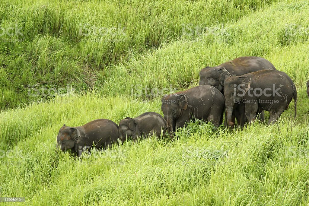 Elephants Asia royalty-free stock photo