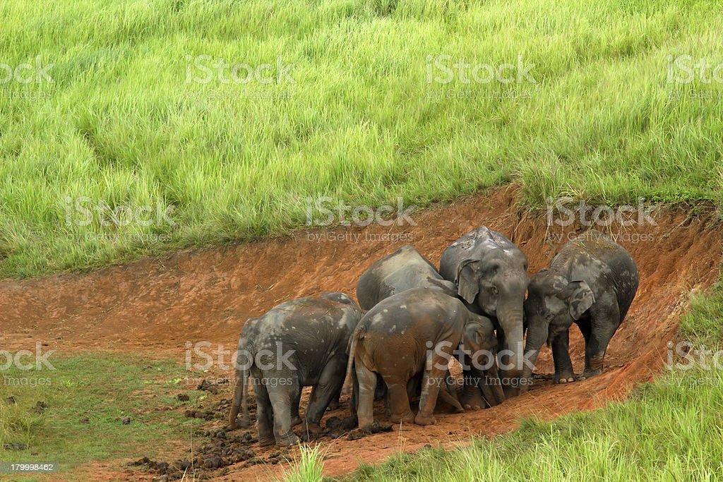 아시아 코끼리를 royalty-free 스톡 사진