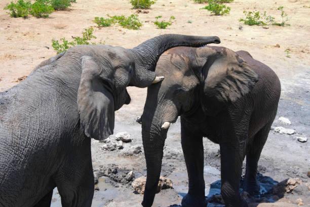 Elephants at a waterhole. stock photo