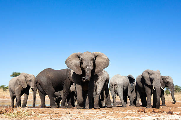 Éléphants sur le plan d'eau - Photo