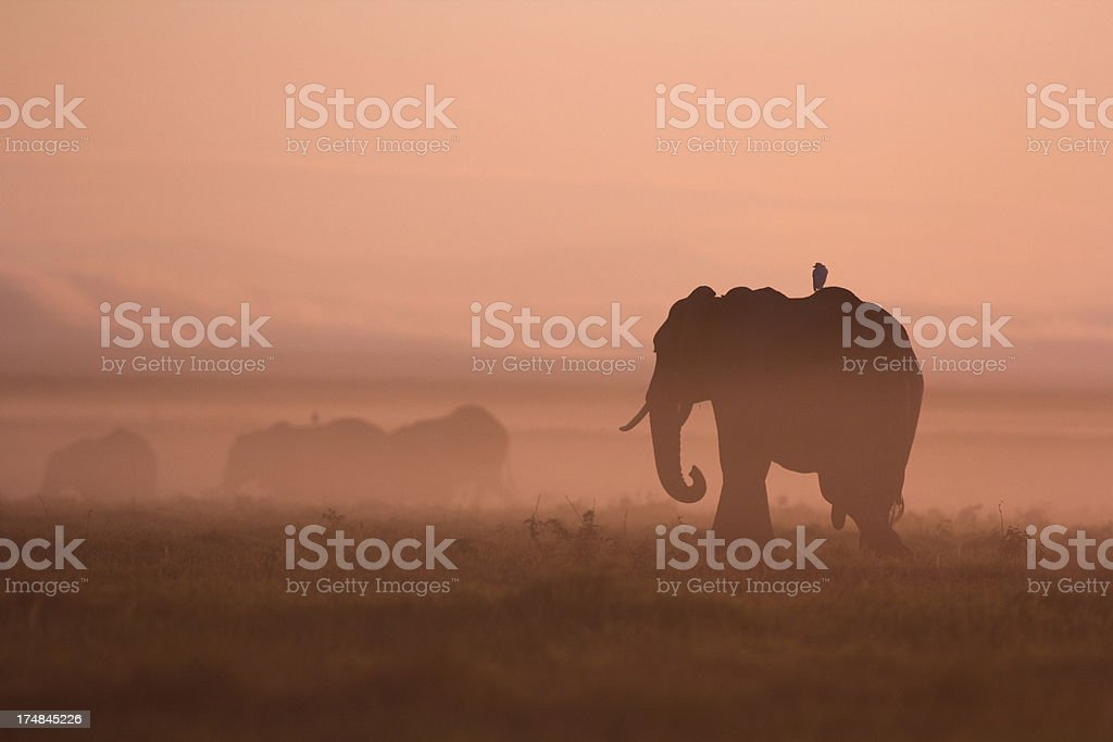Elephants at dawn stock photo