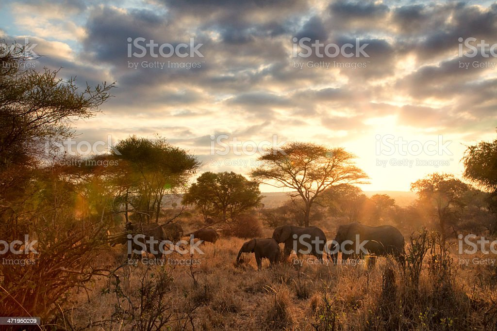 Elephants at dawn, Tanzania stock photo