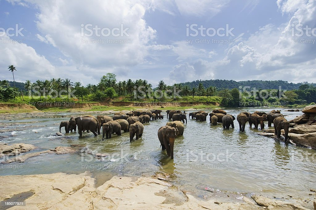 Elephants At Pinnawela - Sri Lanka stock photo