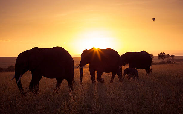 elefanten bei sonnenaufgang - elefanten umriss stock-fotos und bilder