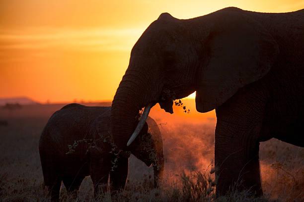 afrikanische elefanten im sonnenuntergang, - elefanten umriss stock-fotos und bilder