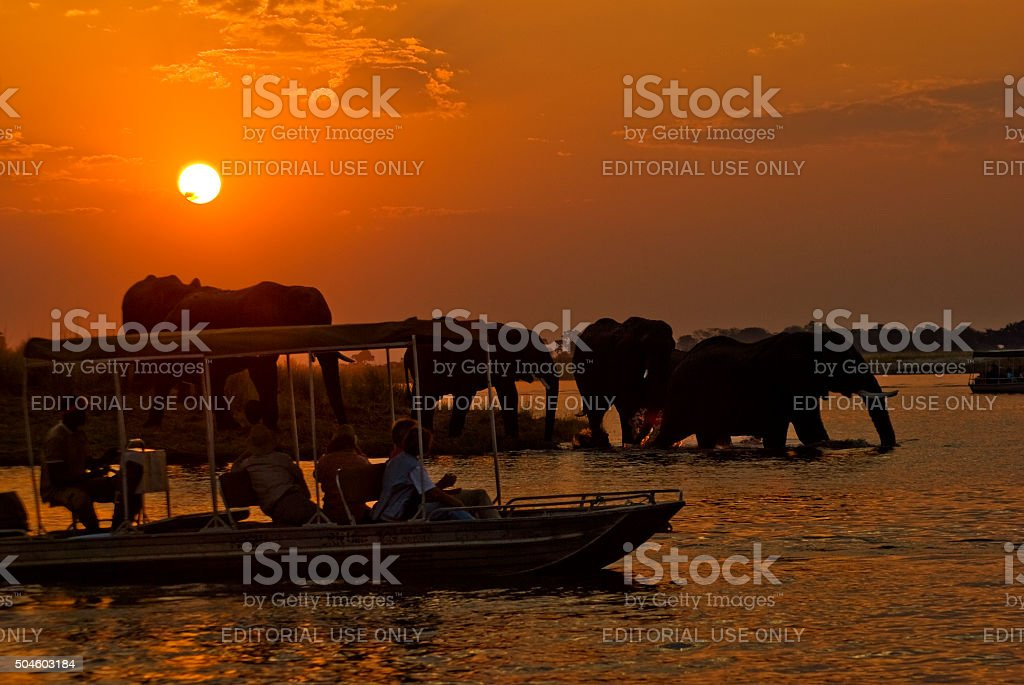 Elephants at sunset, Chobe river, Chobe National Park, Botswana stock photo