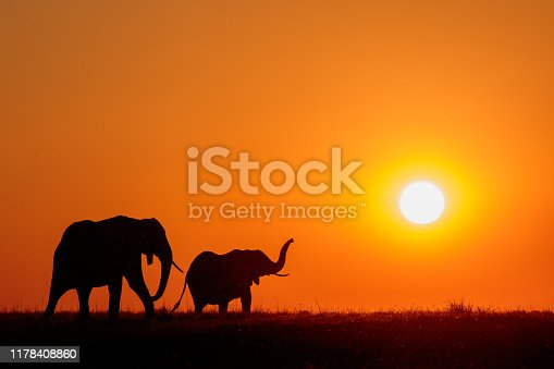 Elephants at sunset on the Chobe River, Botswana, Africa