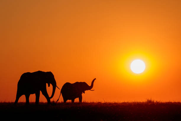 Elephants at sunset on the Chobe River, Botswana, Africa stock photo