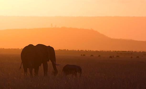 elefanten im sonnenuntergang - elefanten umriss stock-fotos und bilder