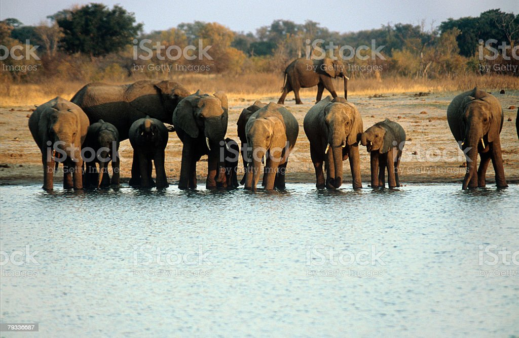Elephants at water hole royalty-free stock photo