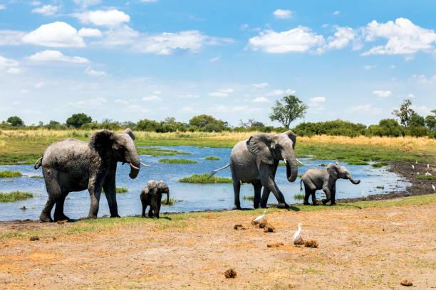 Elephants at waterhole, Chobe, Botswana Family of elephants at waterhole, Chobe National Park, Botswana, Africa elephant calf stock pictures, royalty-free photos & images