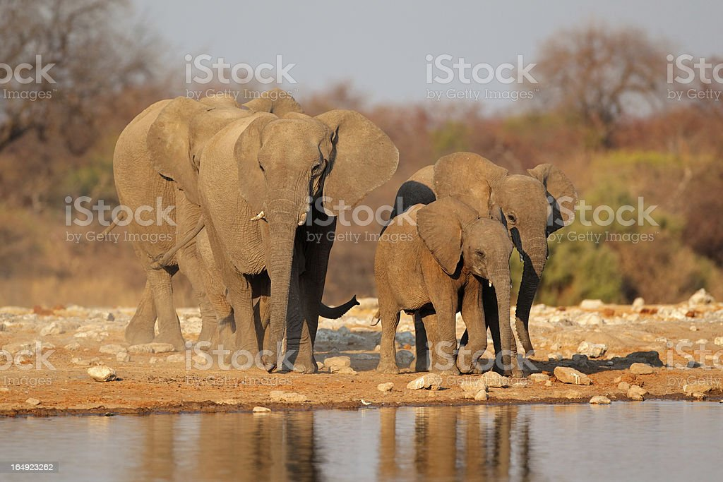 Elephants at waterhole royalty-free stock photo