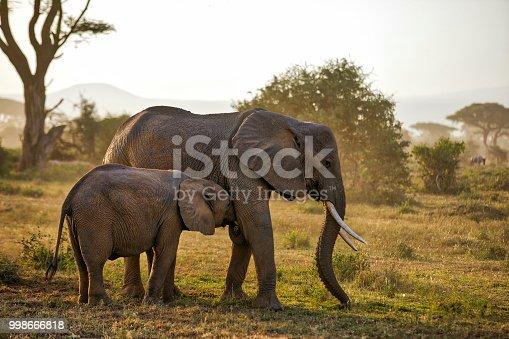 Elephants at wild. sucking milk