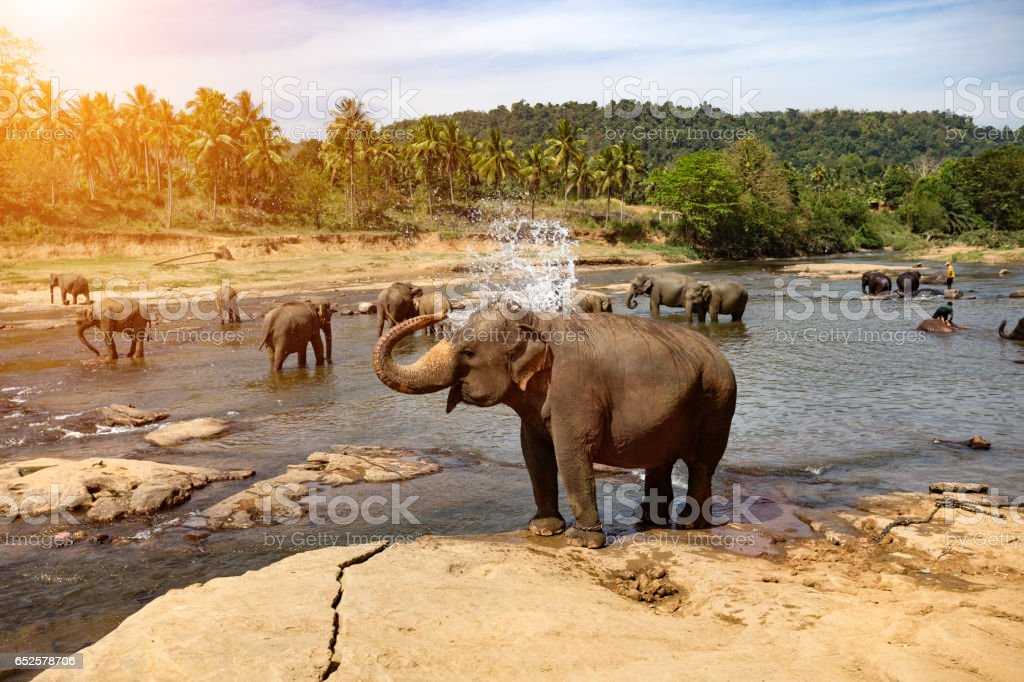 Elephants bathing in the river. Landscape. stock photo