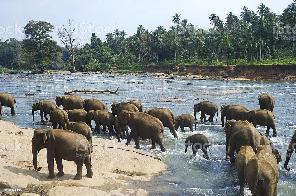 Elephants bathing royalty-free stock photo