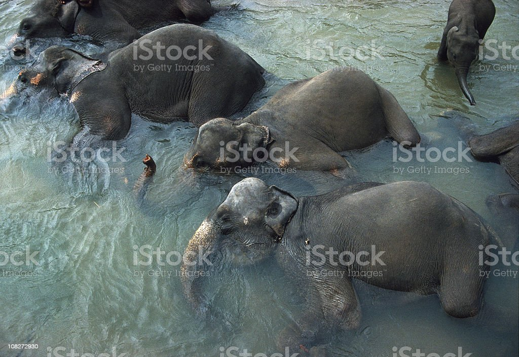 Elephants Bathing, Pinnawela, Sri Lanka stock photo
