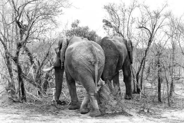 Top 60 big black ass photos stock photos pictures and images istock - Elephant assis ...