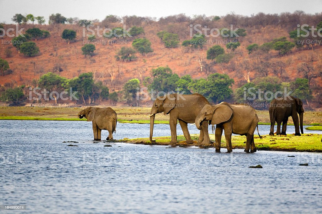 Elephants, Botswana. stock photo