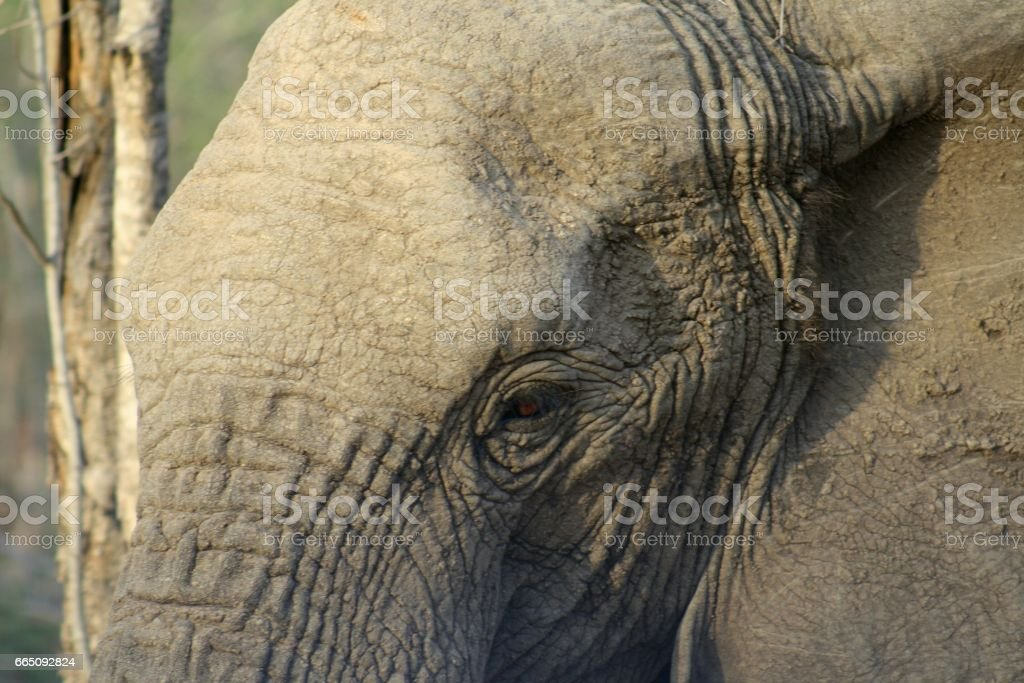 Elephants Closeup During A Safari In South Africa Stock Photo IStock - 24 detailed close ups of animal eyes