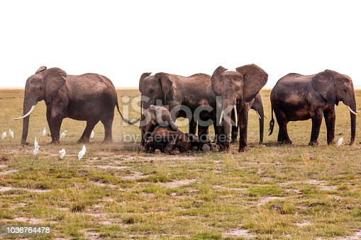 182061384 istock photo Elephants covering resting calf - Watching for them 1036764478