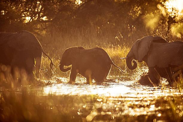 elefanten überquert sie einen fluss ein sonnenuntergang. - fluss sambesi stock-fotos und bilder