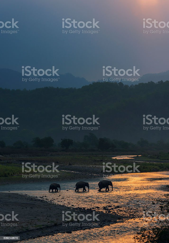 Elephants Crossing River royalty-free stock photo