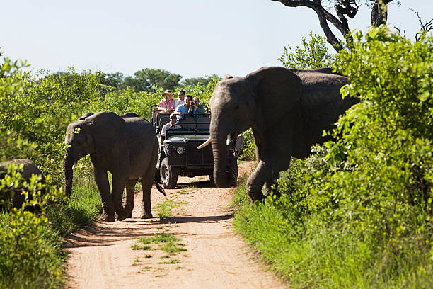 Elephants Crossing Road With Jeep In Background Two elephants crossing dirt road with tourists in jeep in background kruger national park stock pictures, royalty-free photos & images