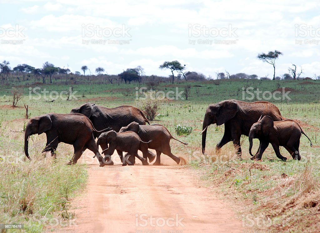 Elephants crossing the road royalty-free stock photo